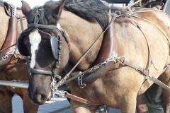 grandcamp-maisy-balade-attelage-chevaux